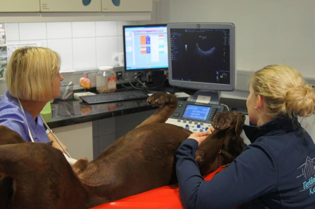 Ultraschall des Abdomens beim Hund